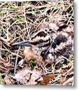 American Woodcock Chick No. 2 Metal Print