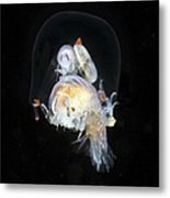 Amphipods Inside A Hydromedusa Metal Print