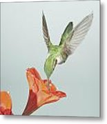 Amyrillis And Broadtailed Hummingbird Metal Print