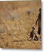 An Adult Meerkat Stands Guard Over Two Metal Print