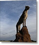 An African Cheetah Guards Its Territory Metal Print by Chris Johns