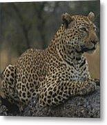 An Alert Leopard Rests On A Fallen Tree Metal Print