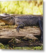 An American Alligator On A Log Metal Print