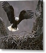 An American Bald Eagle Flies Metal Print