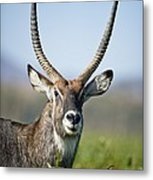 An Antelope Standing Amongst Tall Metal Print