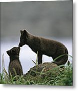An Arctic Fox And Her Kit.  The Foxes Metal Print