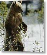 An Brown Bear Ursus Arctos Runs Metal Print