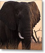 An Elephant In The Okavango Delta Metal Print