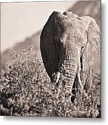 An Elephant Walking In The Bush Samburu Metal Print