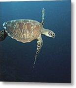 An Endangered Green Sea Turtle Swimming Metal Print