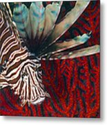 An Invasive Indo-pacific Lionfish Metal Print