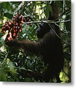 An Orangutan Gorges Himself Metal Print