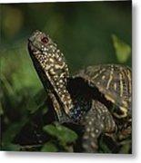 An Ornate Box Turtle Surveys Metal Print