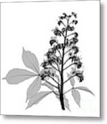 An X-ray Of A Chestnut Tree Flower Metal Print