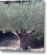 Ancient Old Olive Tree In South France Metal Print