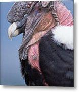 Andean Condor Vultur Gryphus Adult Male Metal Print