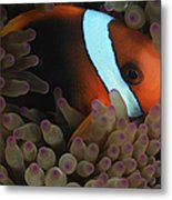 Anemonefish In Purple Tip Anemone Metal Print