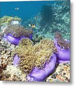 Anemones With Anemonefish Metal Print