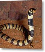 Angolan Coral Snake Africa Metal Print