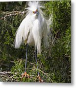 Angry Bird Snowy Egret In Breediing Plumage Metal Print