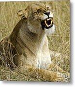 Angry Lioness Metal Print
