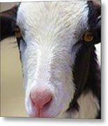Anguilla Goat Metal Print