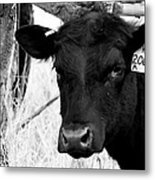 Angus Cow In Black And White Metal Print by Tam Graff