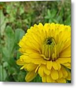 Another Many Yellow Petals Metal Print