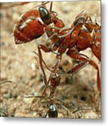 Ant Dorymyrmex Sp Workers Climbing Metal Print