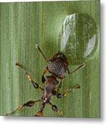 Ant Drinking From Water Droplet Papua Metal Print by Piotr Naskrecki