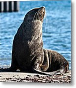 Antarctic Fur Seal 06 Metal Print