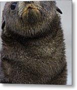 Antarctic Fur Seal Arctocephalus Metal Print