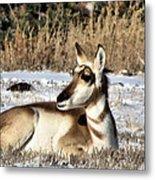 Antelope In Wintertime Metal Print