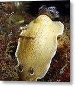 Aphelodoris Varia Sea Slug Nudibranch Metal Print