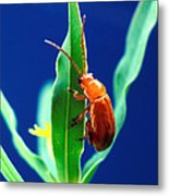 Aphthona Flava Flea Beetle On Leafy Metal Print