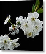 Apple Blossom 1015 Metal Print