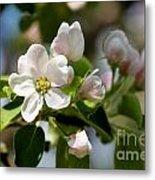 Apple Tree Flowers Metal Print