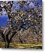 Apple Trees In An Orchard, County Metal Print