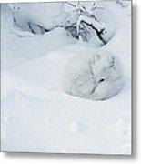 Arctic Fox Alopex Lagopus Curled Metal Print