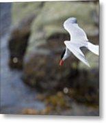 Arctic Tern (sterna Paradisaea) Metal Print