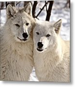 Arctic Wolves Close Together In Winter Metal Print
