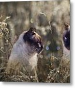 Are You Dreaming About Me - Siamese Feral Cat Metal Print