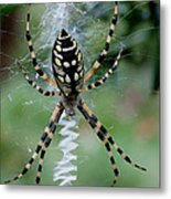 Argiope Aurantia Metal Print by Sean Green