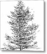 Arkansas - Loblolly Pine Metal Print by Jim Hubbard
