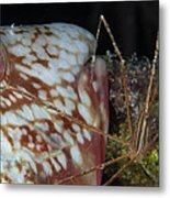 Arrow Crab And Parrotfish, Belize Metal Print