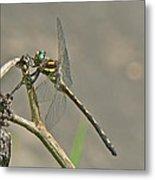Arrowhead Spiketail Dragonfly - Cordulegaster Obliqua Metal Print