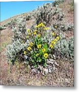 Arrowleaf Balsamroot Metal Print