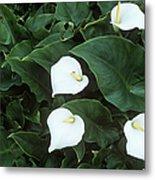 Arum Lily (zantedeschia Aethiopica) Metal Print