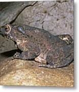Asian Giant Toad Metal Print