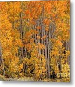 Aspen Forest In Fall - Wasatch Mountains - Utah Metal Print
